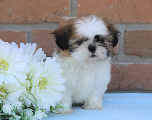 AKC Registered Shih Tzu For Sale Warsaw, OH Male- Donnie