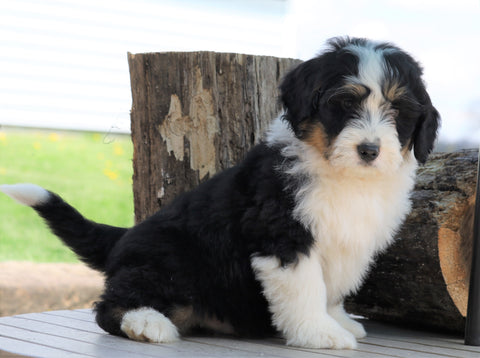 Mini Bernedoodle For Sale Millersburg, OH Male- Rascal