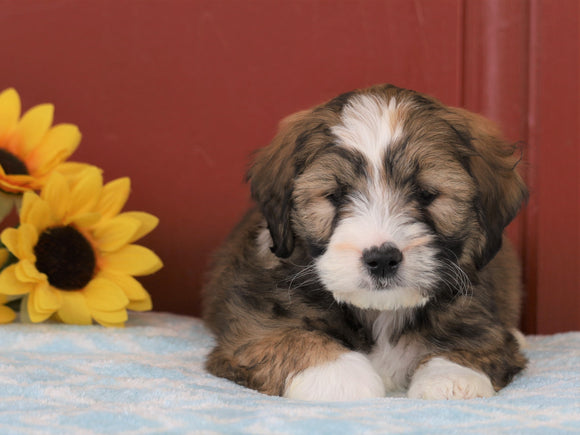 Mini Bernedoodle For Sale Sugarcreek, OH Male- Cleon *Free Shipping!*