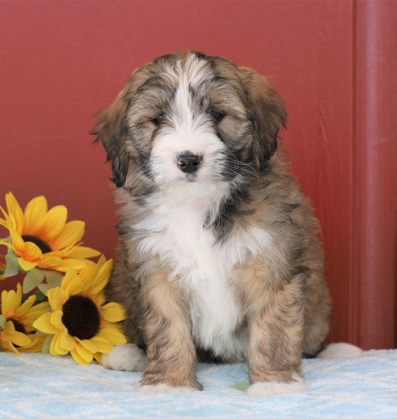 Mini Bernedoodle For Sale Sugarcreek, OH Female- Cocoa