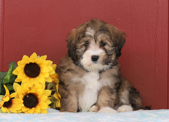 Mini Bernedoodle For Sale Sugarcreek, OH Female- Carrie