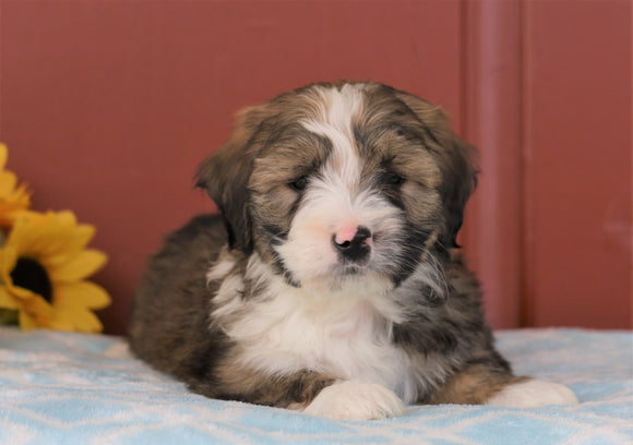 Mini Bernedoodle For Sale Sugarcreek, OH Male- Calvin *Free Shipping!*