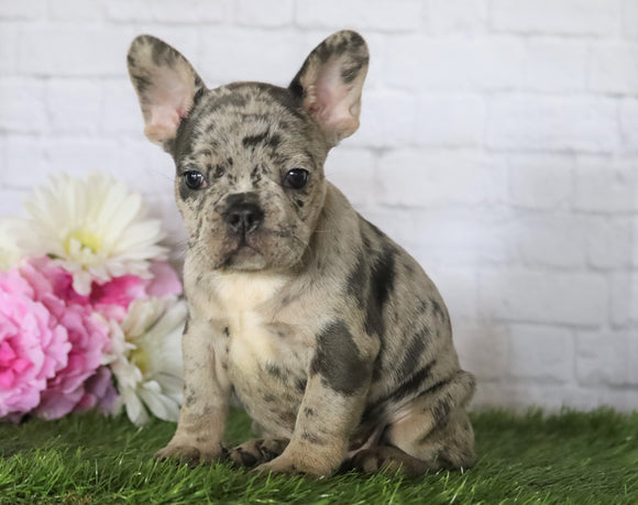 AKC Registered French Bulldog For Sale Millersburg, OH Female- Oreo