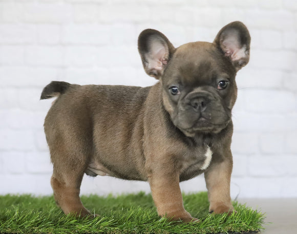 AKC Registered French Bulldog For Sale Millersburg, OH Male- George