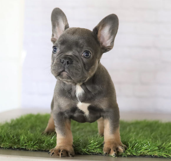 AKC Registered French Bulldog For Sale Millersburg, OH Male- Russel