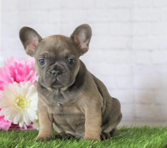 AKC Registered French Bulldog For Sale Millersburg, OH Female- Jada