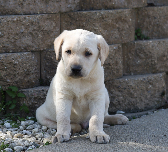 AKC Registered Labrador Retriever For Sale Sugarcreek, OH Male- Carter
