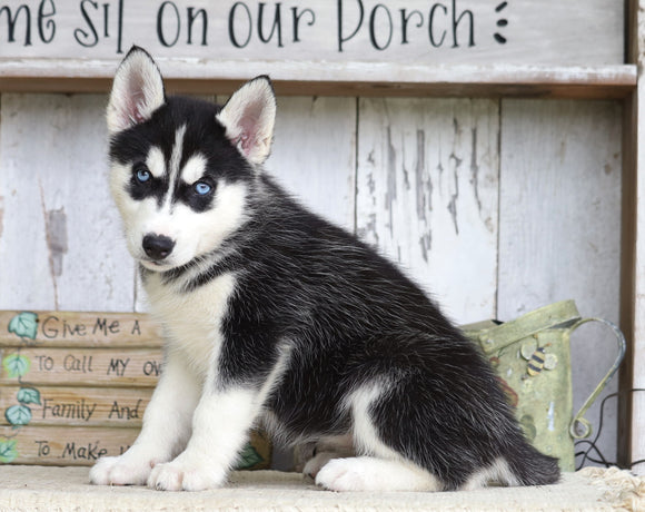 AKC Registered Siberian Husky For Sale Millersburg, OH Female- Sabrina