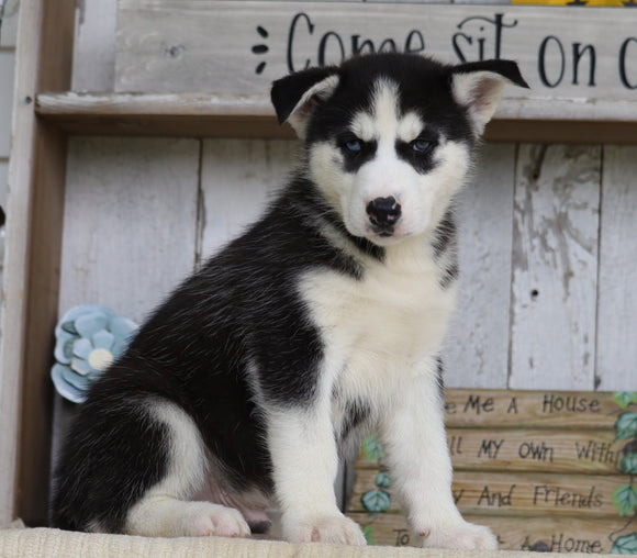 AKC Registered Siberian Husky For Sale Millersburg, OH Male- Joel