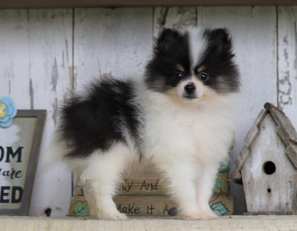 Pomeranian For Sale Millersburg, OH Male- Sam