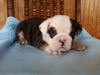 Akc Registered English Bulldog Tri Colored Shrinkables Dundee Ohio Ian Male