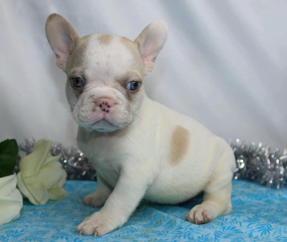 AKC Registered French Bulldog For Sale Wooster, OH Male- Ian
