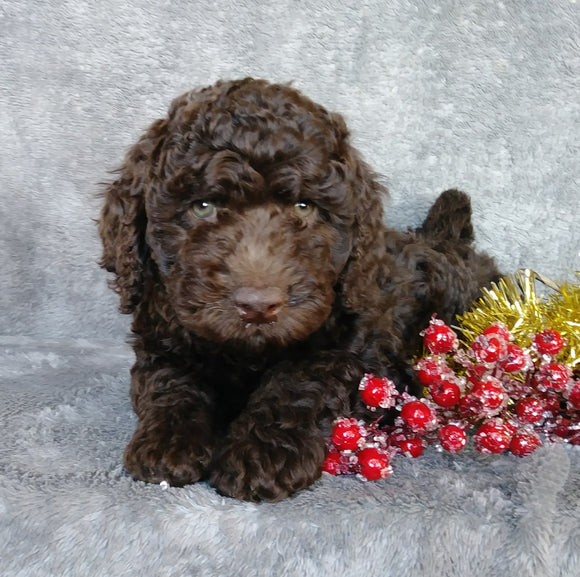 Mini Labradoodle For Sale Millersburg, OH Male- Icycle