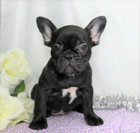 AKC Registered French Bulldog For Sale Wooster, OH Female- Idabell