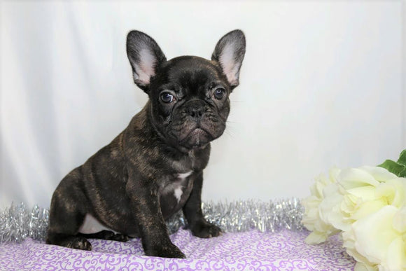 AKC Registered French Bulldog For Sale Wooster, OH Female- Inca