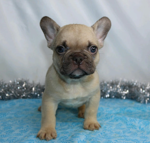 AKC Registered French Bulldog For Sale Wooster, OH Male- Indigo
