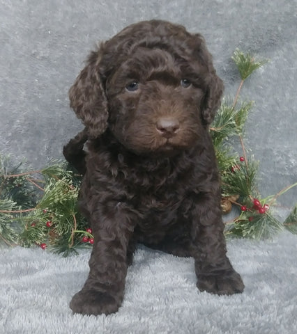 Mini Labradoodle For Sale Millersburg, OH Female- Jingle Bell