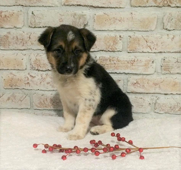 Border Collie/ Australian Shepherd Mix For Sale Holmesville, OH Female- Jackie
