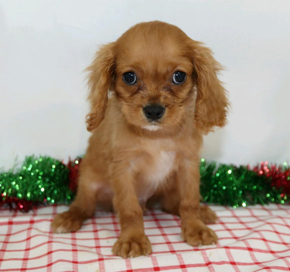 AKC Registered Cavalier King Charles Spaniel For Sale Wooster, OH Male- Jaxon