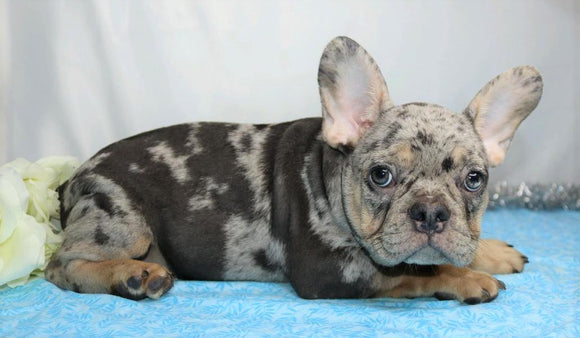AKC Registered French Bulldog For Sale Wooster, OH Male- Jayce