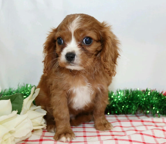 AKC Registered Cavalier King Charles Spaniel For Sale Wooster, OH Male- Jayce