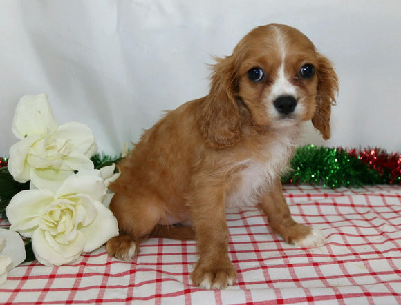 AKC Registered Cavalier King Charles Spaniel For Sale Wooster, OH Male- Jingle