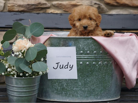 F2 Mini Goldendoodle For Sale Sugarcreek, OH Female- Judy