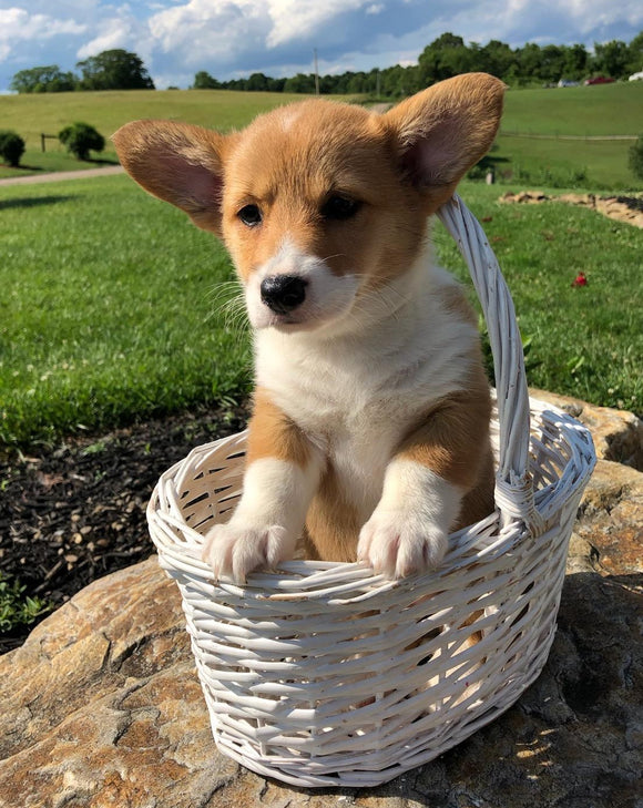 ACA Registered Pembroke Welsh Corgi For Sale Adamsville, OH Female- Judy