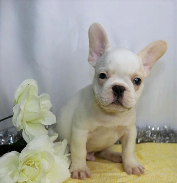 AKC Registered French Bulldog For Sale Wooster, OH Male- Kerwin