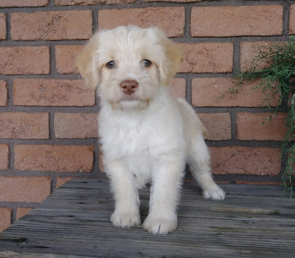 F1B Mini Labradoodle For Sale Millersburg, OH Female- Kissables