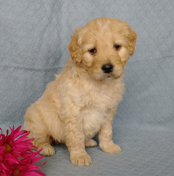 Goldendoodle For Sale Millersburg, OH Female- Kissables