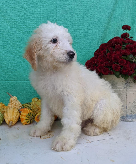 Mini Bernedoodle For Sale Sugarcreek, OH Male- Koda *Sweetest Day Special*
