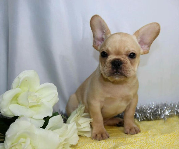 AKC Registered French Bulldog For Sale Wooster, OH Male- Korey