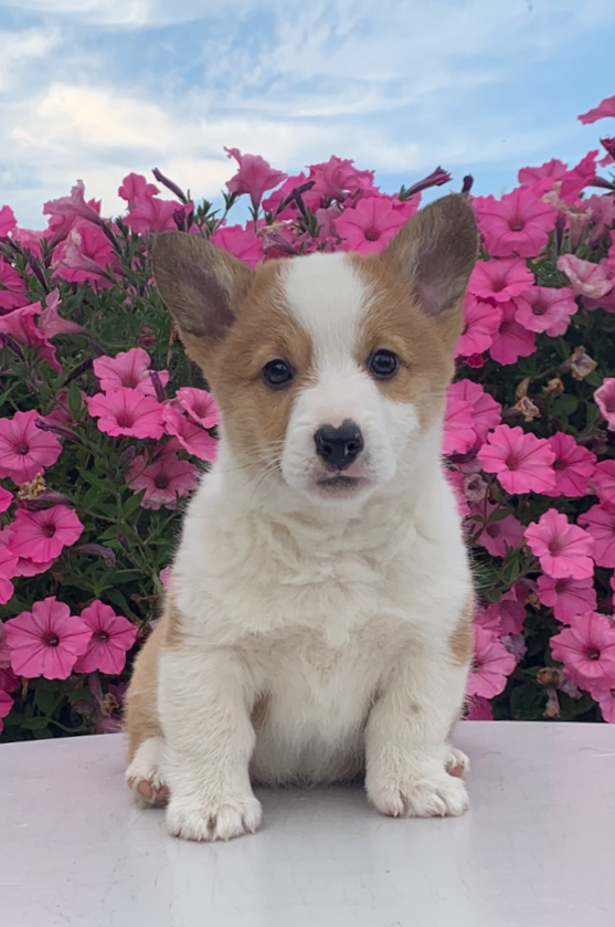 ACA Registered Pembroke Welsh Corgi For Sale Adamsville, OH Male- Kyler