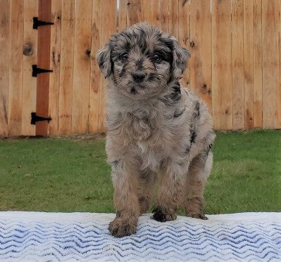 Mini Aussiedoodle For Sale Holmesville, OH Female- Kylie