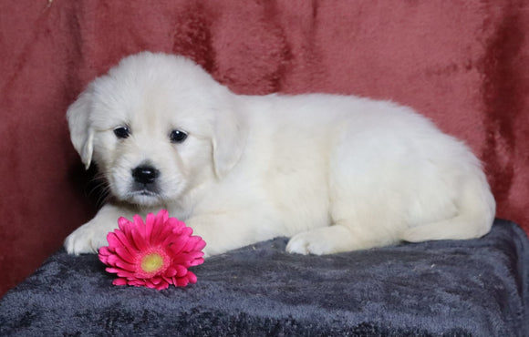AKC Registered English Cream Golden Retriever For Sale Fredericksburg, OH Female- Lacey