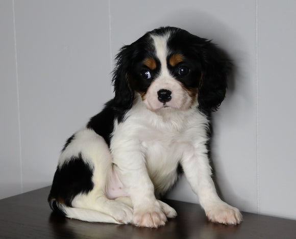 AKC Registered Cavalier King Charles Spaniel For Sale Fredericksburg, OH Male- Lance