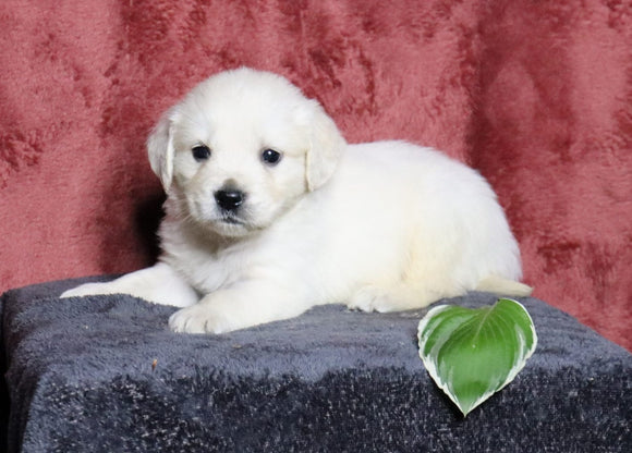 AKC Registered English Cream Golden For Sale Fredericksburg, OH Male- Lance