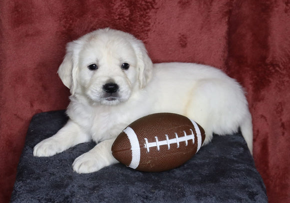 AKC Registered English Cream Golden Retriever For Sale Fredericksburg, OH Male- Lane