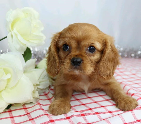 AKC Registered Cavalier King Charles Spaniel For Sale Wooster, OH Male- Lee