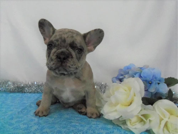 AKC Registered French Bulldog For Sale Holmesville, OH Male- Lenny