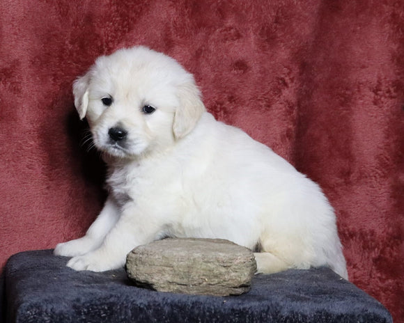 AKC Registered English Cream Golden Retriever For Sale Fredericksburg, OH Male- Leo