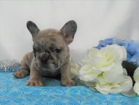 AKC Registered French Bulldog For Sale Holmesville, OH Male- Lester