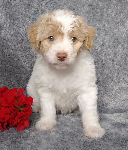 F1B Mini Labradoodle For Sale Millersburg, OH Female- Lexi