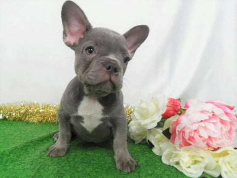 AKC Registered French Bulldog For Sale Holmesville, OH Female- Lila