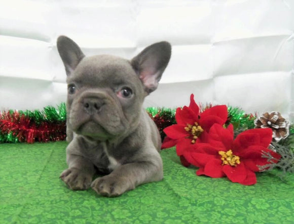 AKC Registered French Bulldog For Sale Holmesville, OH Female- Lilac
