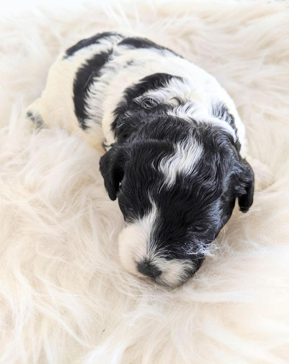 Cockapoo Puppy For Sale Dundee, OH Female- Lily