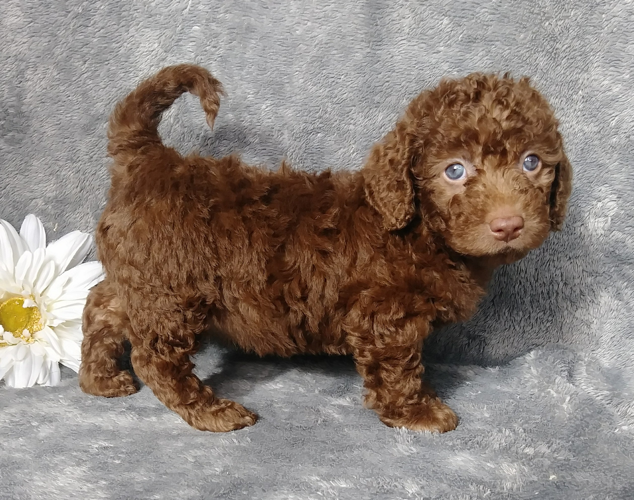 F1b Mini Labradoodle For Sale Millersburg Oh Female Lilly
