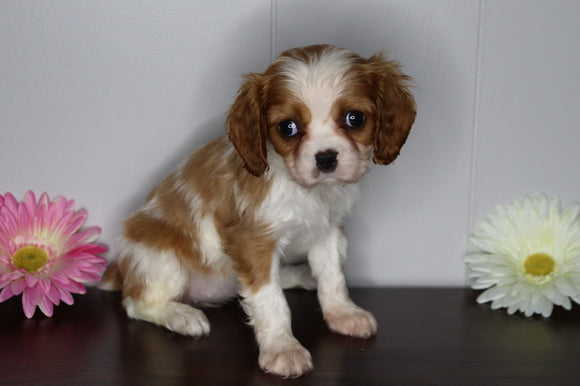 AKC Registered Cavalier King Charles Spaniel For Sale Fredericksburg, OH Female- Lilly