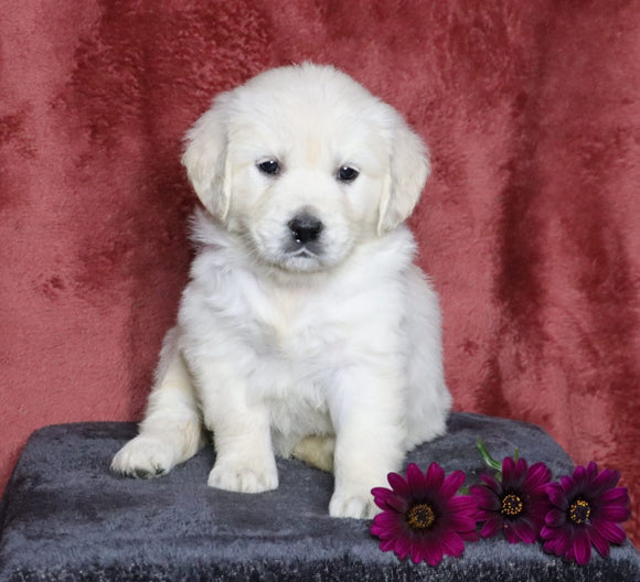 AKC Registered English Cream Golden Retriever For Sale Fredericksburg, OH Female- Lilly